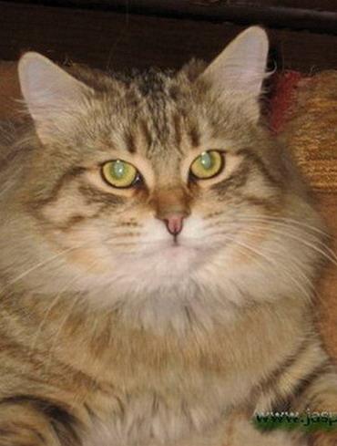 В нашем питомнике в середине ноября ожидается появление котят от пары Ch.  Alexa Siberian Tiger и Бисер Росич Эухарис.